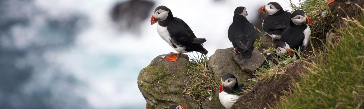 A group of puffins sit on the side of a cliff overlooking the ocean.