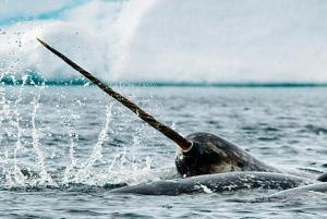 Narwhals amongst the ice.
