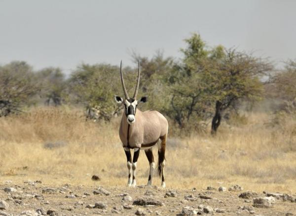 A beautiful black and white Oryx stands in the dry Africa landscape.