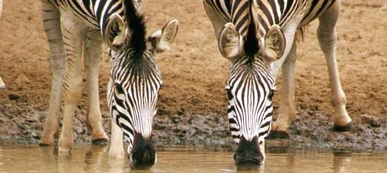 A herd of zebras quench their thirst at a watering hole.