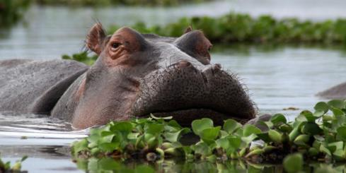 A Hippopotamus glides through the swampy waters.