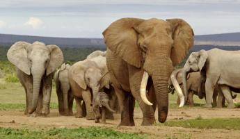 A herd of elephants of all sizes make their way across the valley.