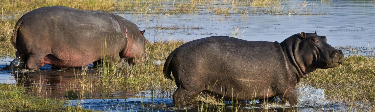 Hippos walk into the swampy water of Botswana.