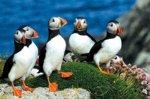 View puffins on your Europe cruise