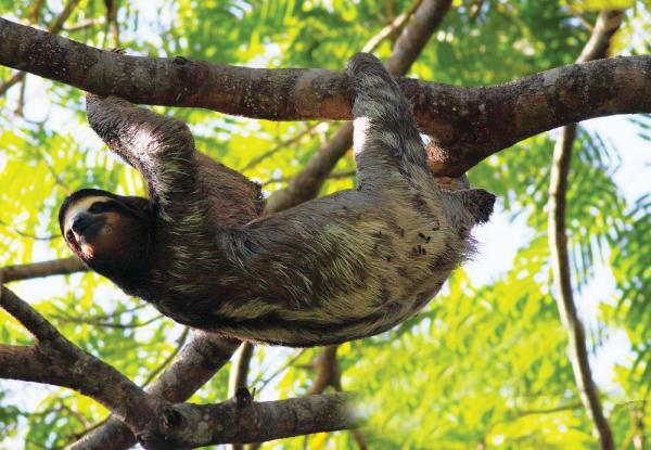 Encounter the sloths who live in the trees