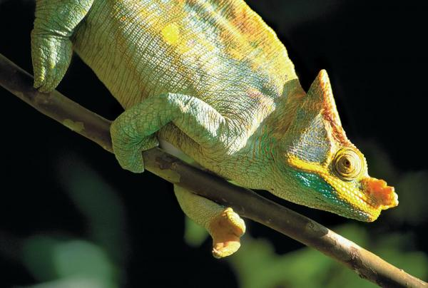 A chameleon holds tight to a branch while searching it's surroundings.
