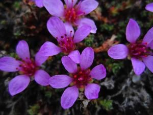 Beautiful alpine flowers of Norway