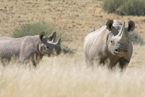 A pair of rhino wander through the dry landscape.