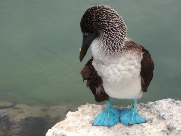 A blue-footed boobie hangs out quietly on the shore.