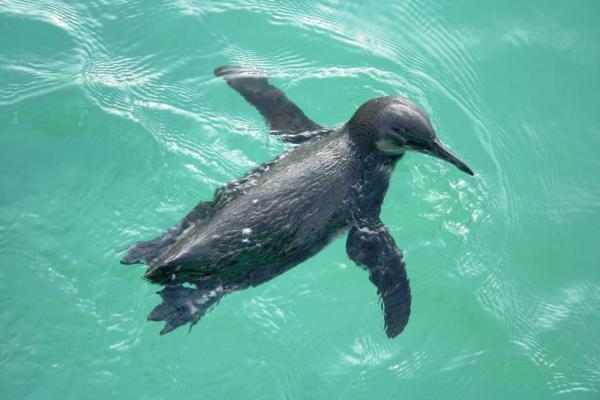 A penguin swims in the beautiful clear waters.