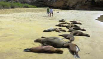 A colony of sea lions take a nap on the warm beach.