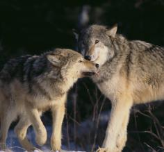 Wolves nuzzling in the snow