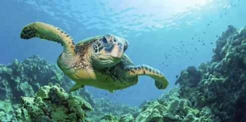 Sea turtle swimming in the clear water