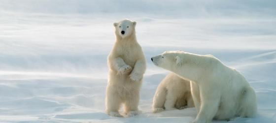 A mother polar bear and her young relax on the Arctic landscape
