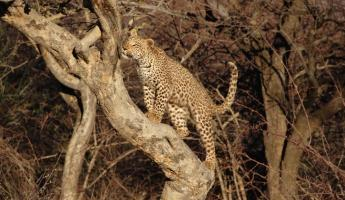 A cheetah makes its way up a tree to better survey the area