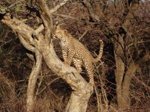 A cheetah makes it's way up a tree to better survey the area