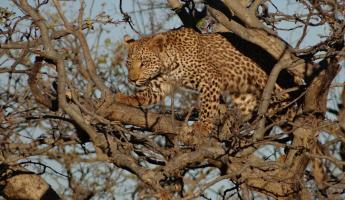A cheetah is perched high allowing for a better view