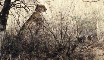 A cheetah sits secluded in the brush