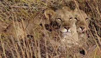Two lions stay hidden in the high brown grasses
