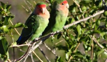 Two Rosy-faced Lovebirds sit side by side eachother