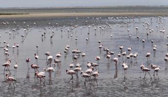Hundreds of Lesser Flamingos speckle the landscape
