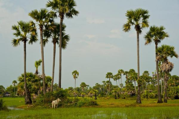 Explore the rice fields of Cambodia