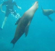 Frolicking with the sea lions underwater