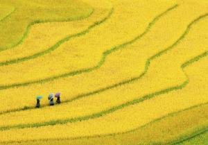 Three women walk along the brightly colored fields of Burma