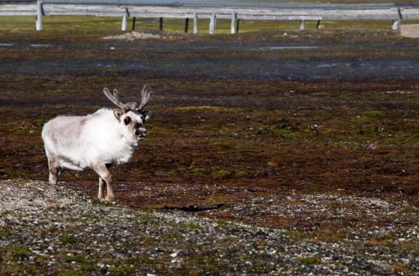Reindeer are one of the many exotic animals to look out for on your Arctic voyage