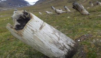 Whale bones buried in the hills of Longyearbyen