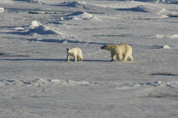 Keep your eyes out for Polar Bears on your Arctic voyage!