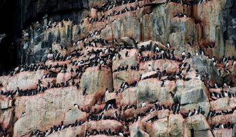 Alkefjellet on Spitsebgerg Islands provides the ideal roost for hundreds of Arctic birds