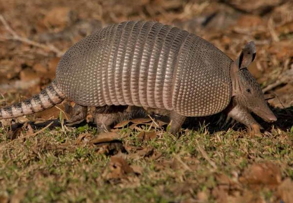 An armadillo makes its way across the grass