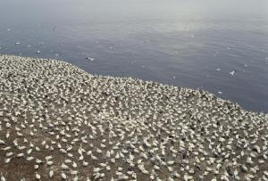 A group of Gannets found off the coast of Canada