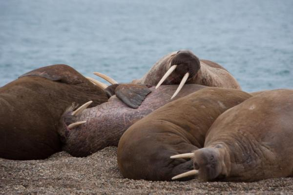 Walrus relax on the beach in the Arctic