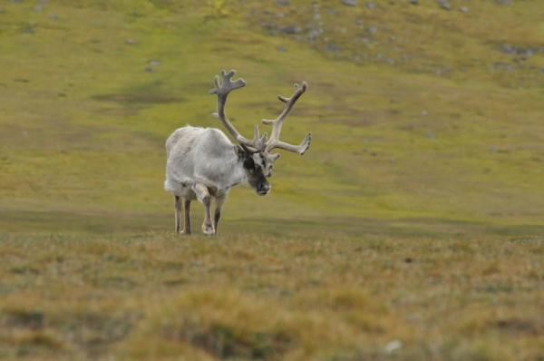 Reindeer roam along the Arctic tundra