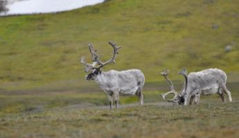 Keep your eye out for reindeer along your Arctic cruise