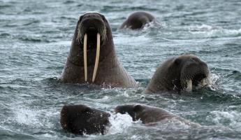A walrus pops up for to say hello