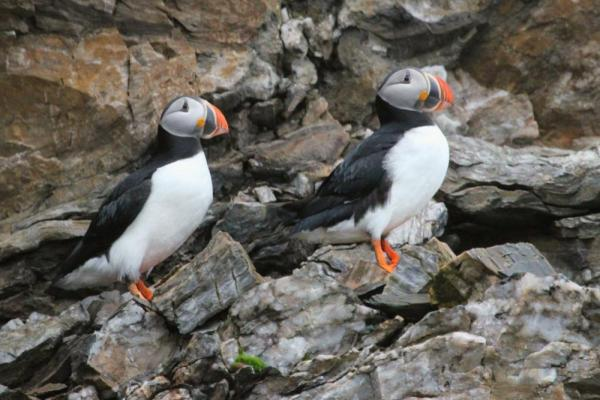 Birders look out for puffins, found throughout the Arctic