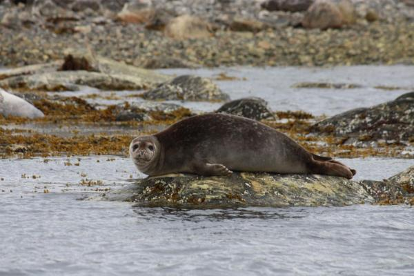 Seals lounge along the Arctic seas