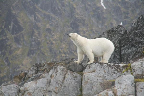 Polar bears roam throughout the Arctic