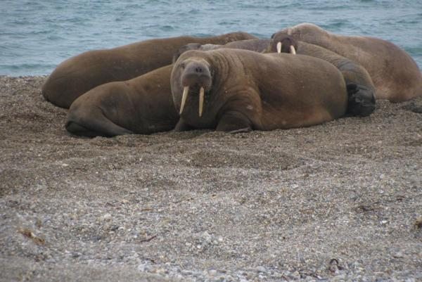 Walrus lounge along the beach in the Arctic