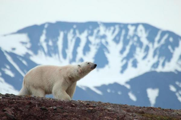 Polar bears roam freely in the Arctic
