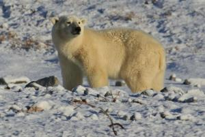 Polar bears keep watch over the Arctic landscape
