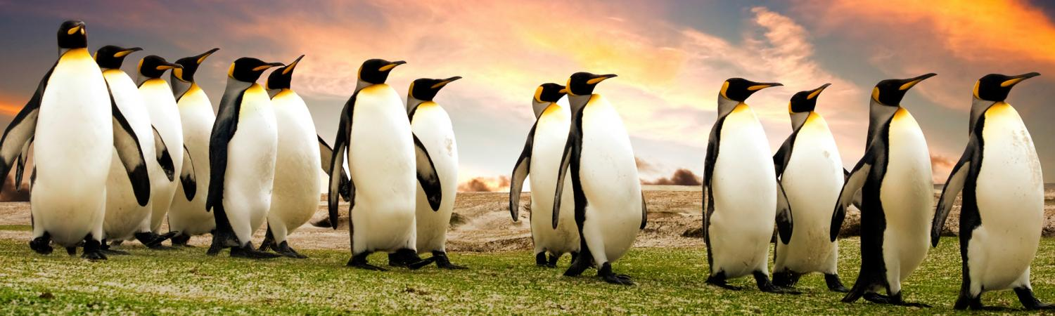 A group of penguins in the Falkland Islands