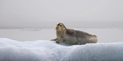 Seals are just one of the many Arctic mammels you may encounter on your voyage