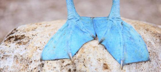 The iconic feet of a Blue-Footed Booby