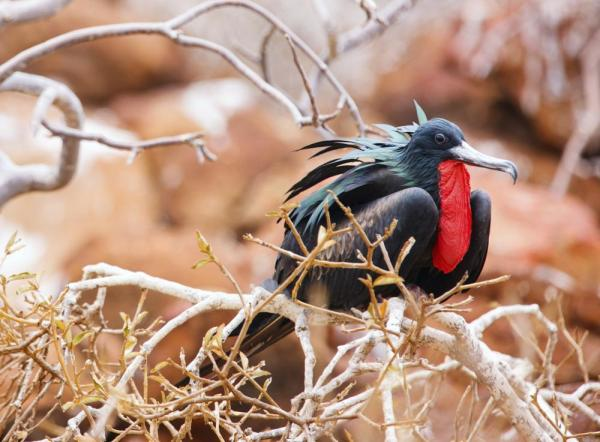 A male frigatebird rests in the trees of the Galapagos