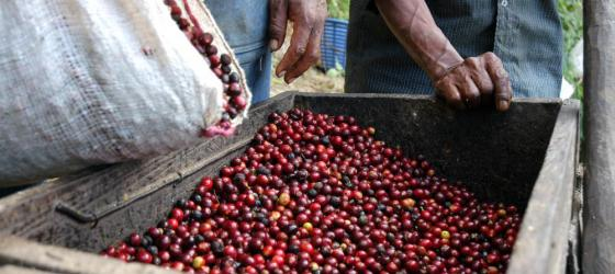 Two local farmers pour out a fresh crop of coffee beans