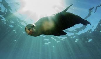 A curious sea lion checks out snorkelers in the Galapagos Islands